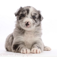 Merle Border Collie puppy, lying with head up