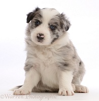 Merle Border Collie puppy, sitting