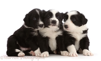 Three black-and-white Border Collie puppies, sitting