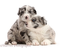 Two merle Border Collie puppies