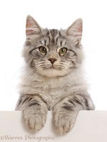 Silver tabby kitten, with paws over