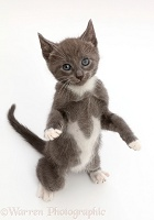 Blue bicolour kitten, standing up with raised paws
