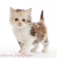 Tortoiseshell Persian-cross kitten