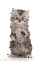 Silver tabby Persian-cross kitten with raised paws