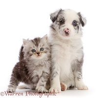 Blue merle Border Collie puppy and silver tabby kitten