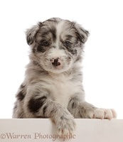 Merle Border Collie puppy, with paws over