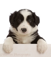 Black-and-white Border Collie puppy, with paws over