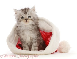 Silver tabby Persian-cross kitten in a Santa hat
