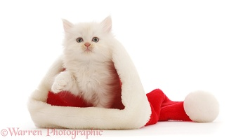 Cream Persian-cross kitten in a Santa hat
