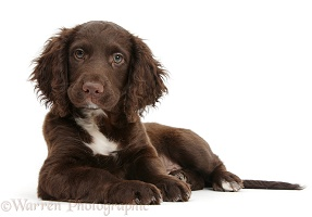 Chocolate Cocker Spaniel puppy lying with head up