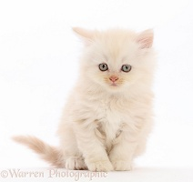 Cream Persian-cross kitten
