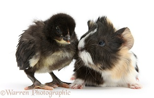 Tricolour Guinea pig and black Bantam chick