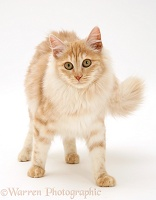 Red silver Turkish Angora cat, walking