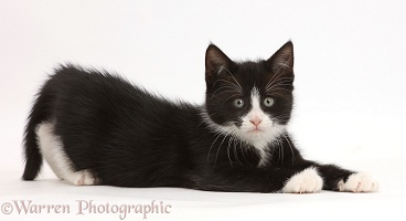 Black-and-white kitten lying