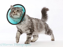 Silver tabby cat wearing Elizabethan wound healing cone collar