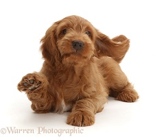 Playful Golden Cocker Spaniel puppy