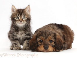 Tabby Persian-cross kitten and Goldendoodle puppy
