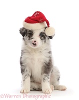 Merle Border Collie puppy, wearing a Santa hat