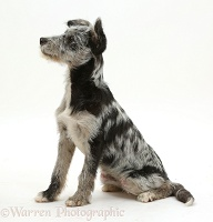 Blue merle mutt puppy
