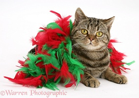 Tabby cat wrapped in a feather bower