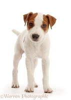 Jack Russell puppy, standing
