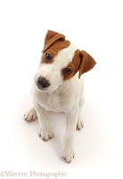 Jack Russell puppy, sitting and looking up