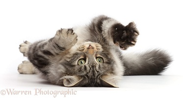 Silver tabby cat rolling on her back