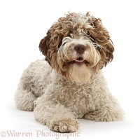 Lagotto Romagnolo bitch