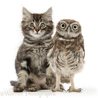 Tabby kitten and Little Owl