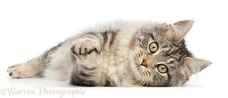Silver tabby cat lying on her side