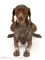 Brown Pointer, lying with head up