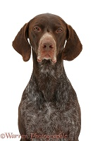 Brown Pointer portrait