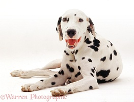 Dalmatian, lying with head up