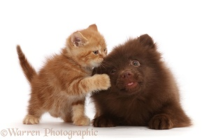 Ginger kitten and Chocolate Pomeranian puppy