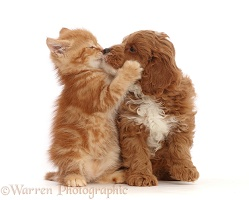 Ginger kitten kissing with Cavapoo puppy
