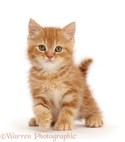 Sweet little ginger kitten