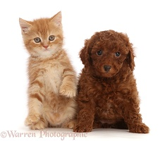 Ginger kitten and Red Cavapoo puppy
