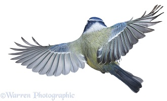 Blue tit in flight back view