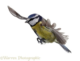 Blue tit flying, wings spread