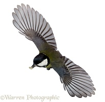 Great tit in flight