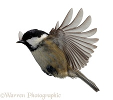 Coal tit flying