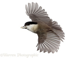 Marsh tit in flight