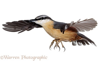 Nuthatch alighting