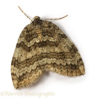 November Moth female