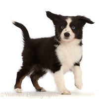 Black-and-white Mini American Shepherd puppy standing