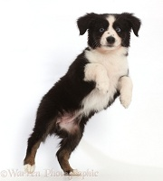 Black-and-white Mini American Shepherd puppy jumping