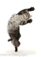 Silver tabby cat leaping up and turning