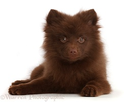 Chocolate brown Pomeranian puppy lying head up