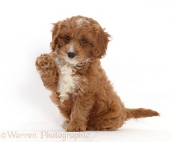 Cavapoo puppy sitting with raised paw