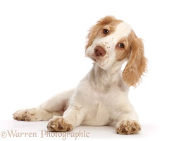 Orange-and-white Cocker Spaniel
